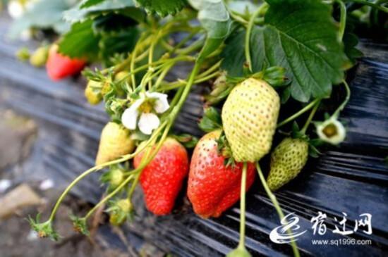 宿迁宿豫区发展草莓种植&nbsp带动村民致富